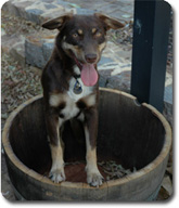Karribindi Dog in a Barrel